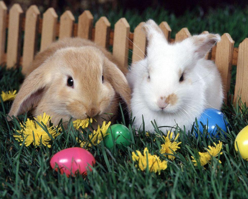 Bunny rabbits - an invasive species?